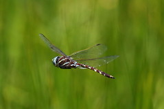 Blue-spotted Hawker Adversaeschna brevistyla