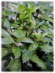 Slow-growing Aucuba japonica (Spotted Laurel, Japanese Laurel, Japanese Aucuba, Gold Dust Plant) that can reach between 1-5 m tall, 23 Jan 2018