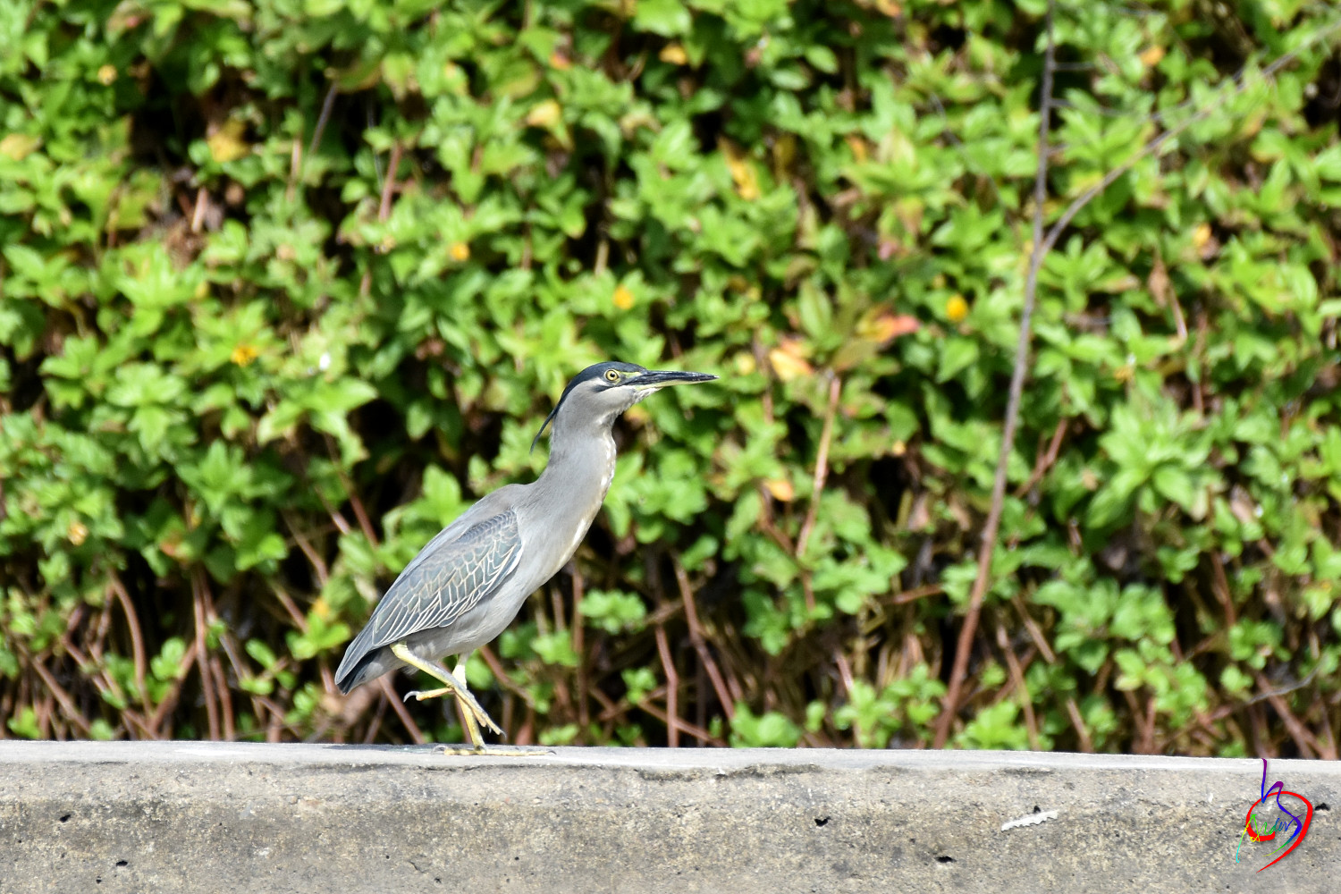 Striated_Heron_2153