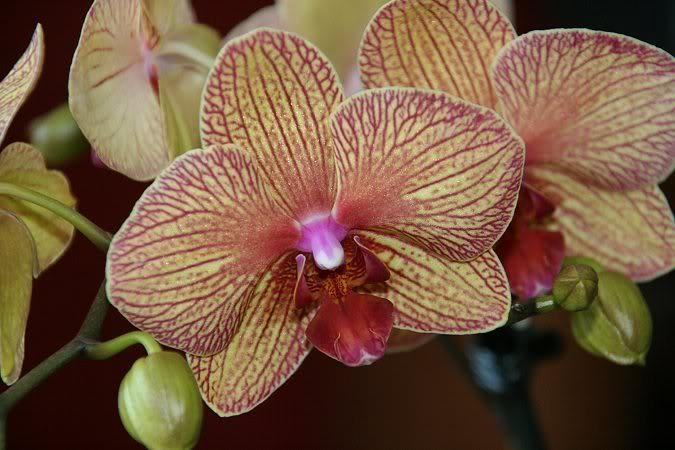 Les orchidées chez Sougriwa - Page 3 39109050074_f07a555bce_b