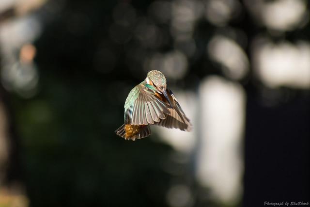 20180125-kingfisher-DSC_5458