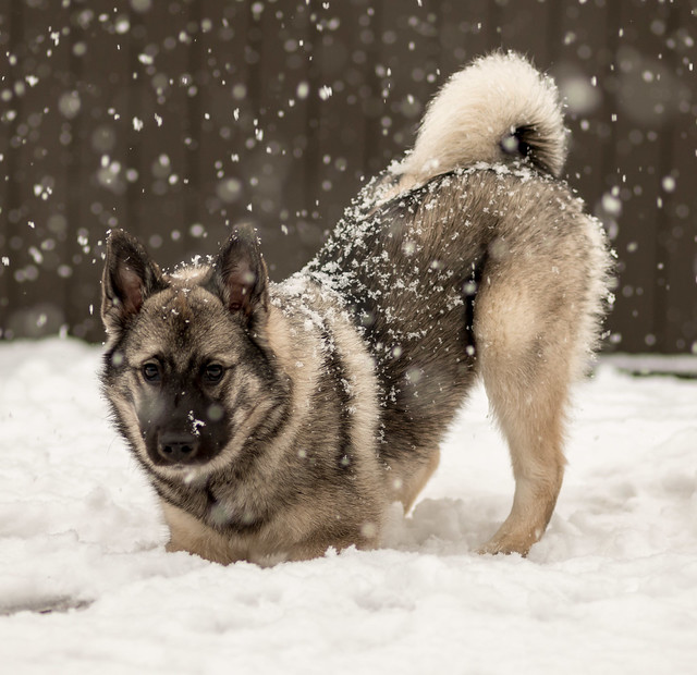 Norwegian Elkhound Pictures And Informations Dog Breeds Com