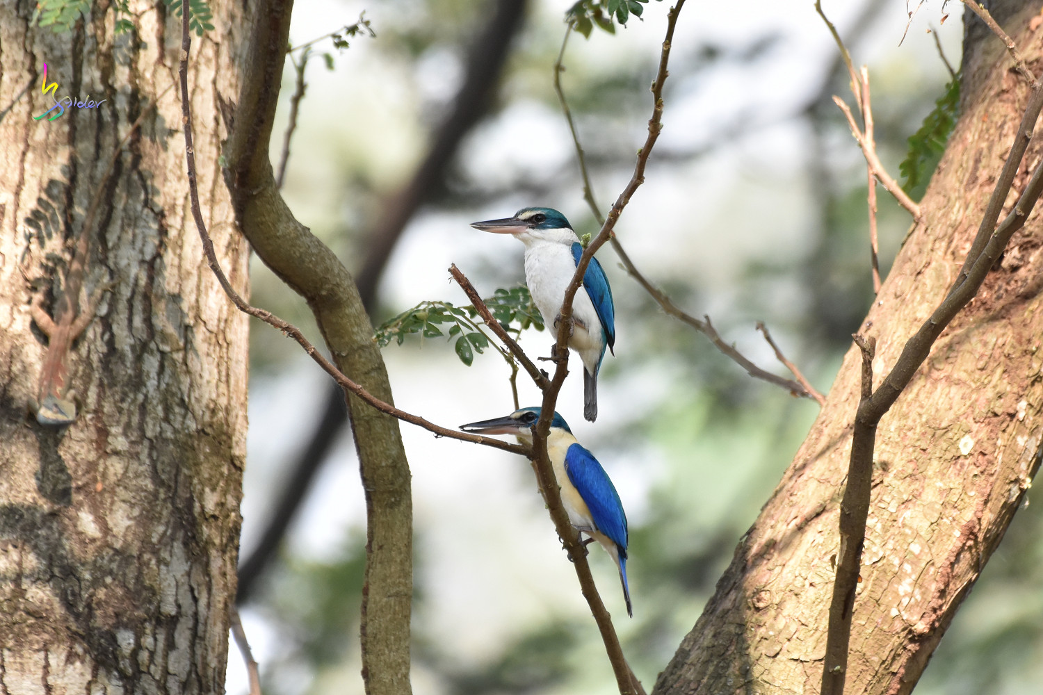 Collared_Kingfisher_9953