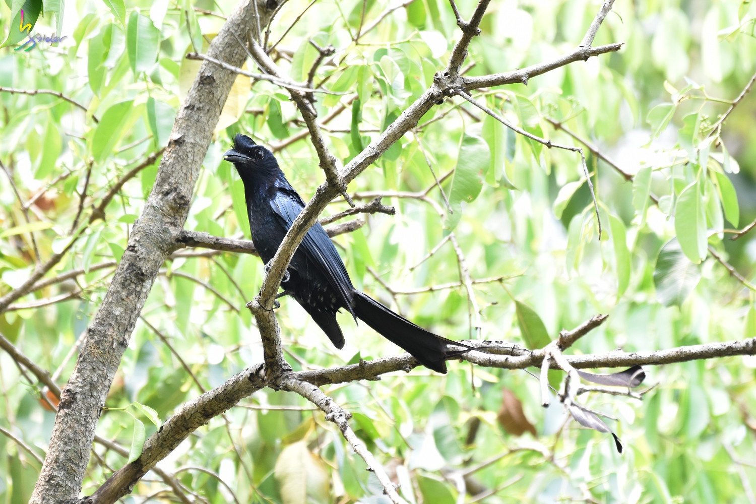 Greater_Racket-tailed_Drongo_1344
