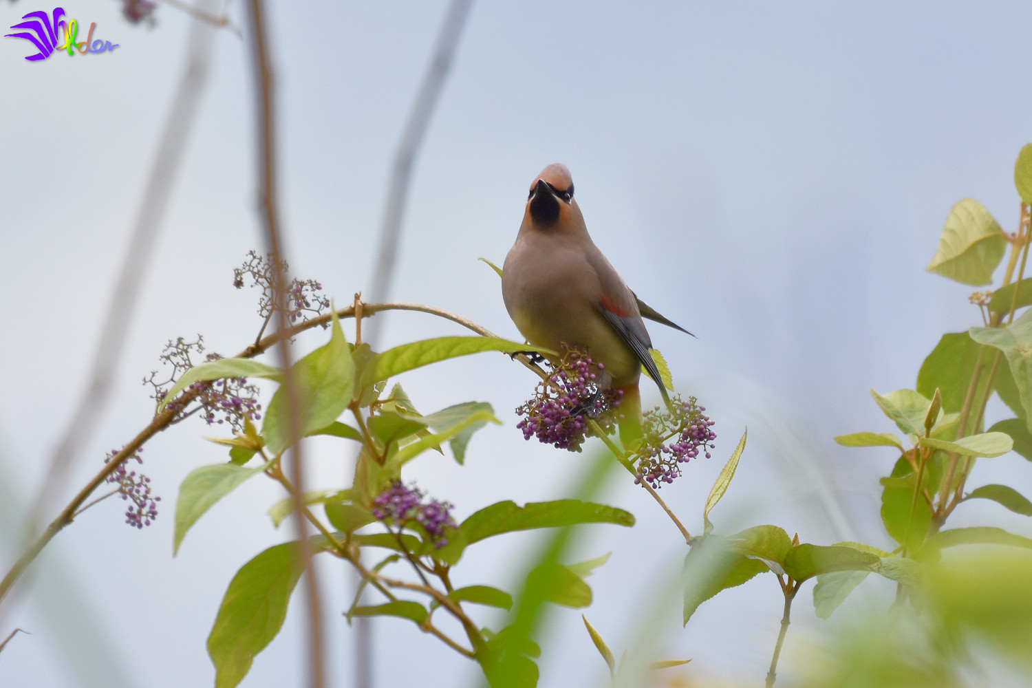 Japanese_Waxwing_5573