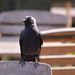 Jackdaw perched on a bench