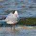Black Headed Gull - Widewater (032)