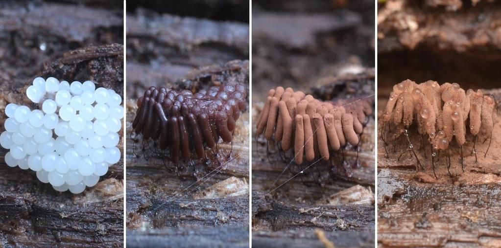Stemonitis slime mold over the last week
