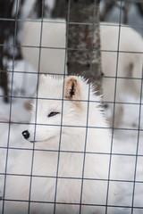 Renards arctiques et captivité