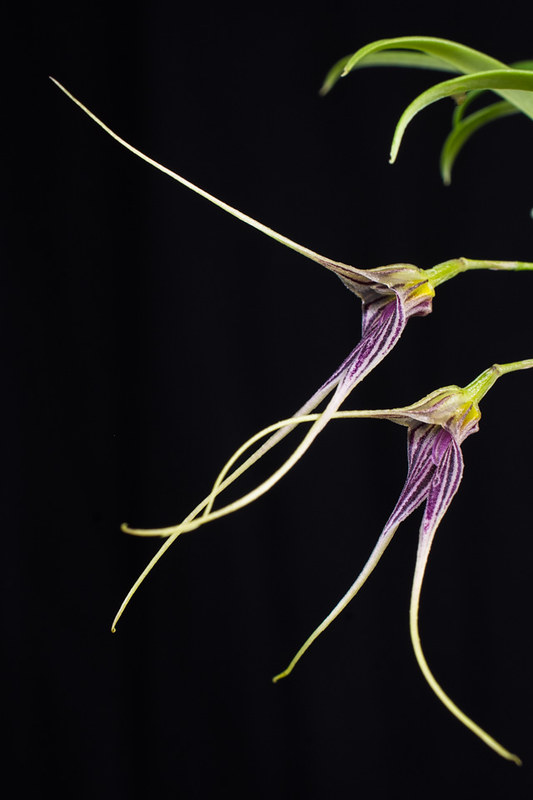 Miniatur-Orchideen Teil 4 - Seite 5 40043149561_dd0b055856_c
