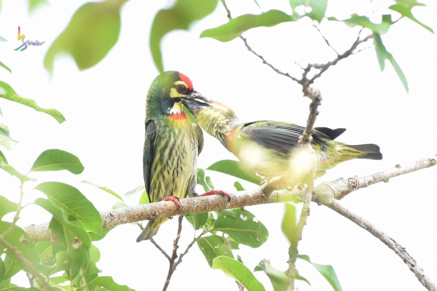 Coppersmith_Barbet_0280
