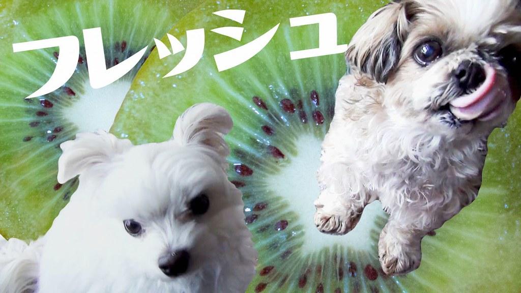 シーズーまろんとマルプーはる 犬と冬のビタミン バナナとキウイ