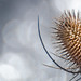 Teasel and Bokeh by D Budd