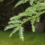 Sequoia sempervirens needles
