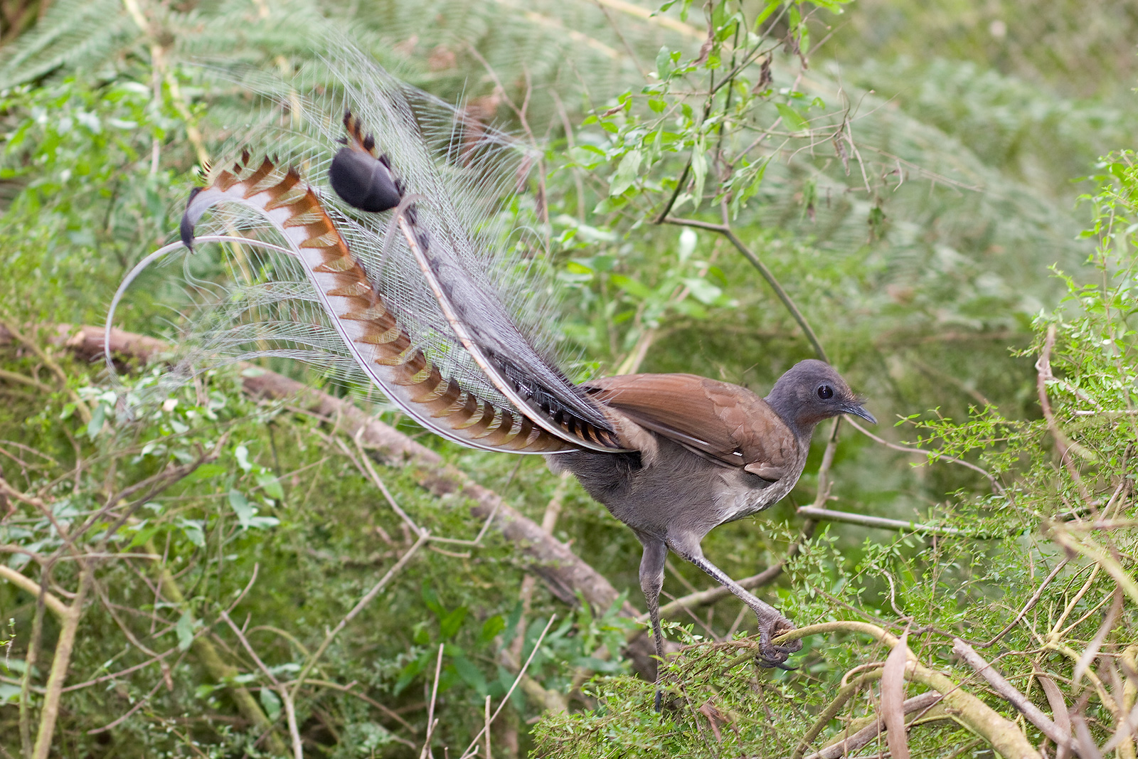 Superb lyrebird in scrub. Photo taken in Victoria, Australia, June 2008.