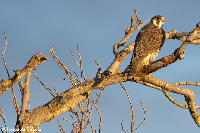 Falcão Peregrino (Falco peregrinus) | Peregrine Falcon | Wanderfalke-peregrinus | Halcón Peregrino | Faucon pèlerin |  Pellegrino
