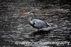 Heron in the water