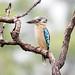Blue Winged Kookaburra in the rain
