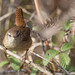 Troglodyte mignon - Troglodytes troglodytes (Domaine Des Oiseaux, Ariège) 18 février 2018