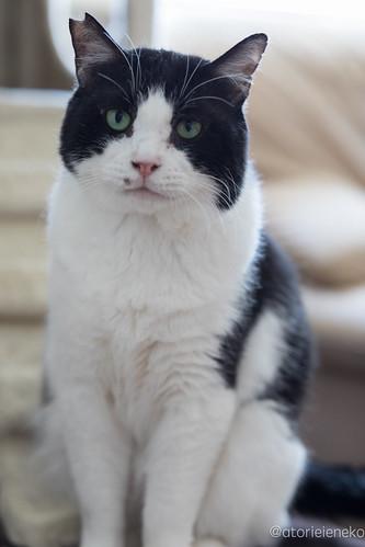 アトリエイエネコ Cat Photographer 26476645688_5cd3980e6f 「猫を斜め45度から撮影する」をやってみる 里親募集のための写真術  高槻ねこのおうち 里親様募集中 猫写真 猫 子猫 大阪 初心者 写真 保護猫カフェ 保護猫 スマホ カメラ Kitten Cute cat