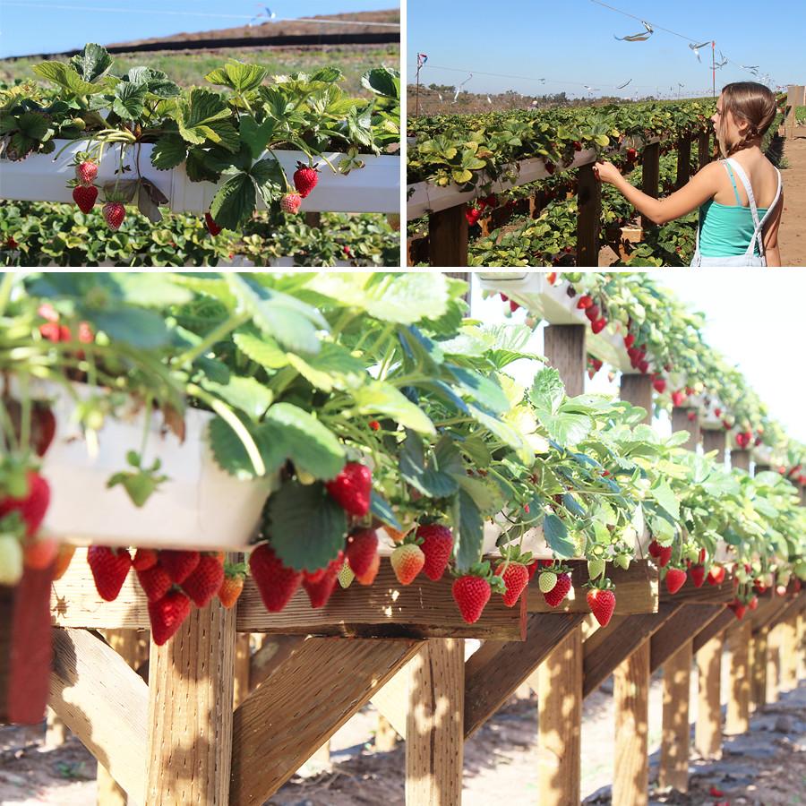 strawberry-season-3