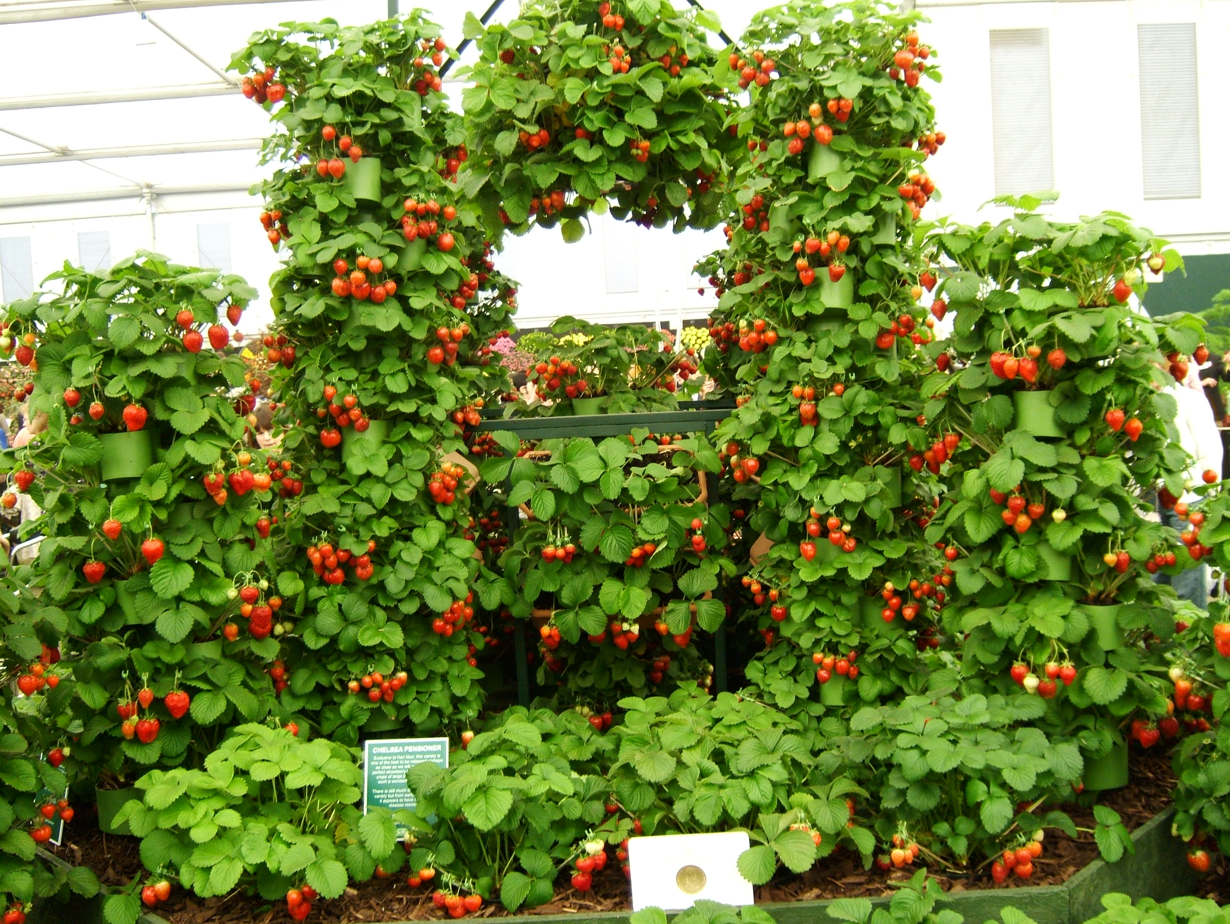 Strawberries on display at Chelsea Flower Show, June 19, 2008.