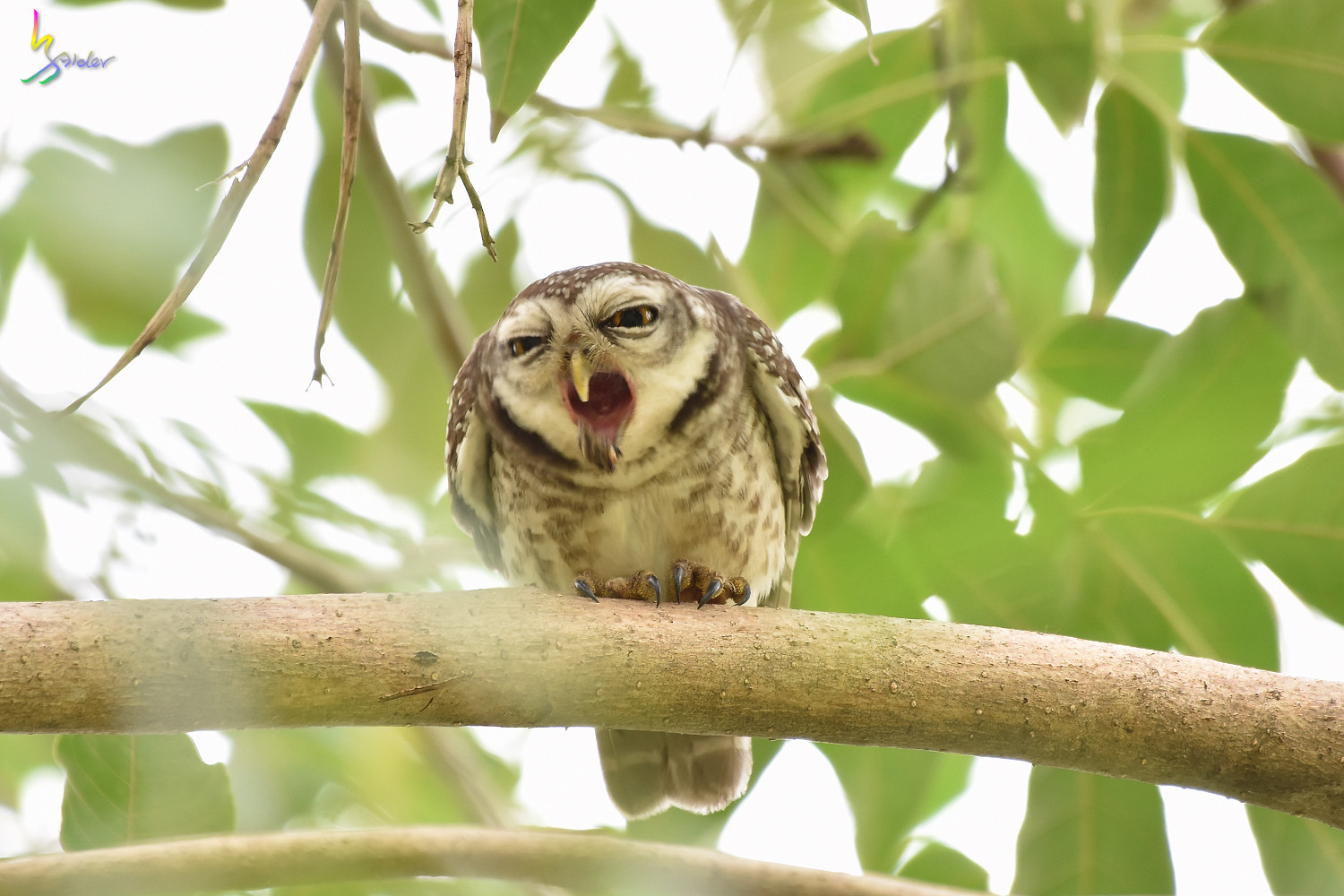 Spotted_Owlet_2400