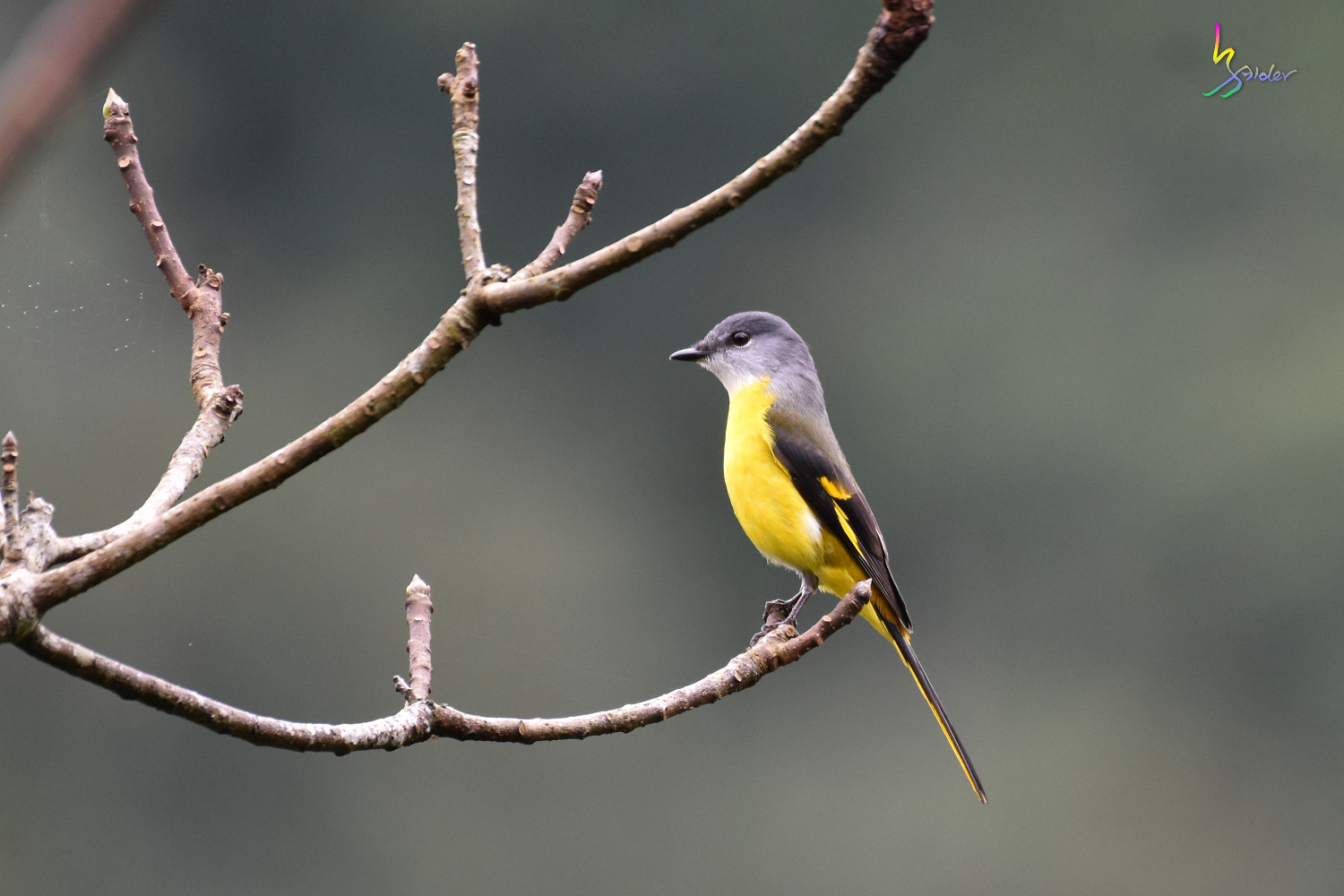 Gray-chinned_Minivet_6894