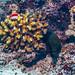 Yellowmargin Moray & Freckled Hawkfish (Subadult)