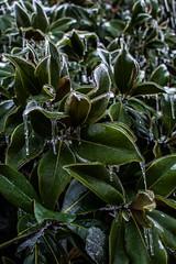 Magnolia Gelicidio