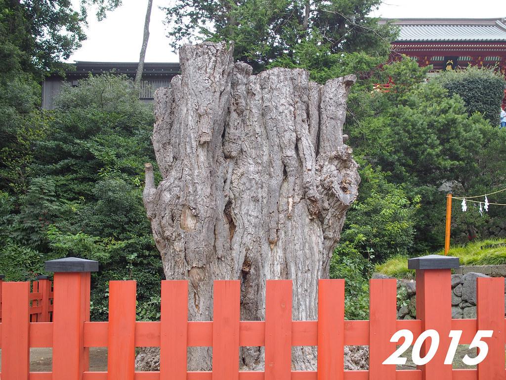 Tsurugaoka Hachimangū | The Giant Ginkgo 2015