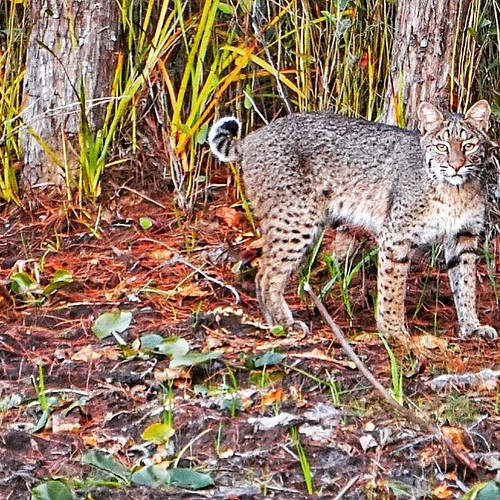 Bobcat in the Okefenokee Swamp, Georgia