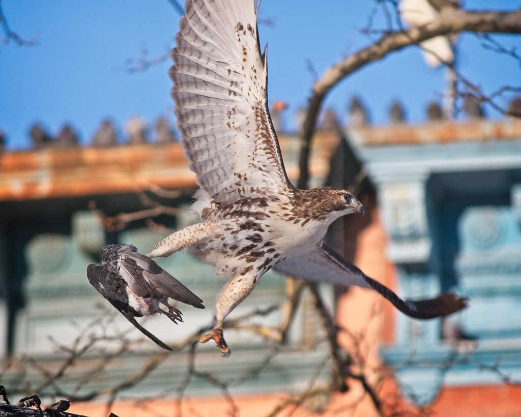 Red-tail with headless pigeon