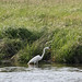 Great White Heron - Sandy Hook 05