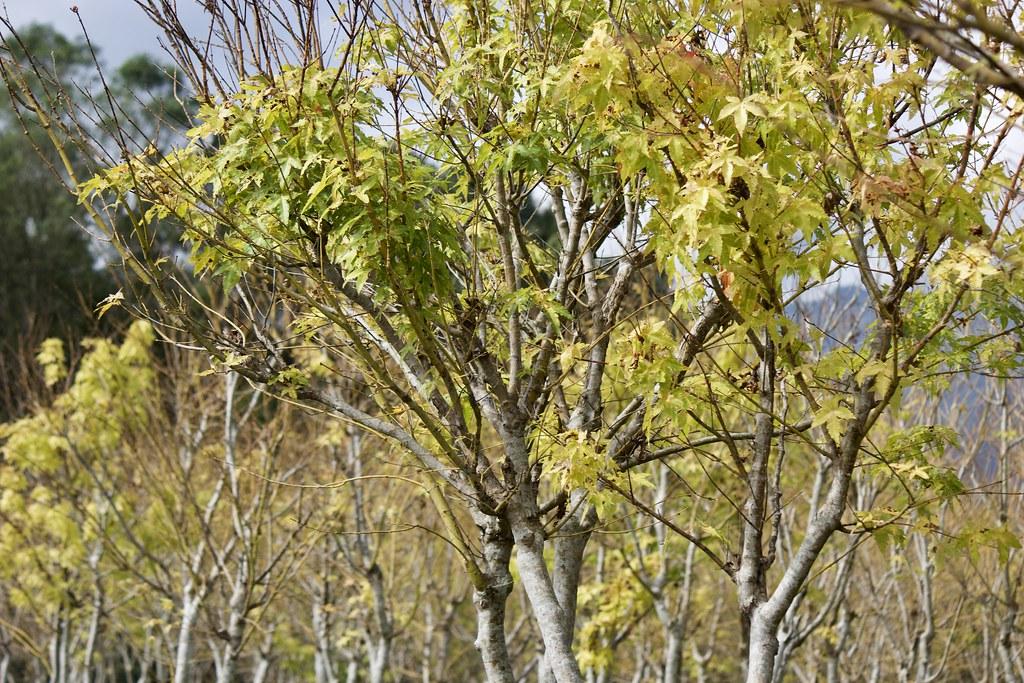 加拿大楓樹(花蓮壽豐)