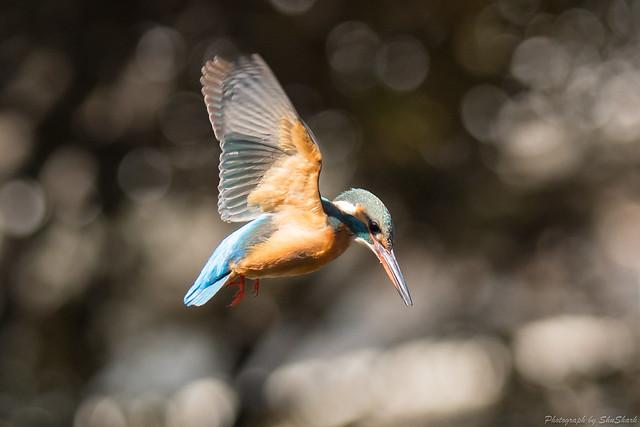 20180127-kingfisher-DSC_5978