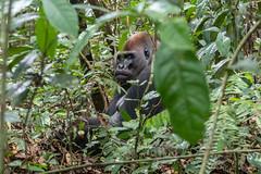 Western lowland silverback gorilla, Dzanga Sangha Special Reserve, CAR