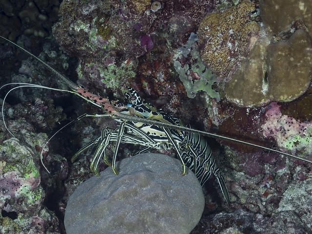Langosta Espinosa Pintada- Panulirus versicolor, Tubbataha - Arrecife Malayan