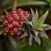 Little pineapple (non-edible)