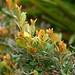 Coastal Plain Staggerbush (Lyonia fruticosa), Jupiter Ridge Natural Area, Jupiter, FL, 2-3-18 by AzureJay Wildlife Documentation