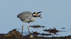 Yellow-crowned Night-Heron, Hudson Beach