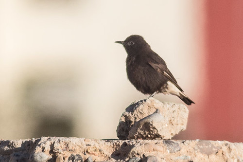 Black Wheatear - male