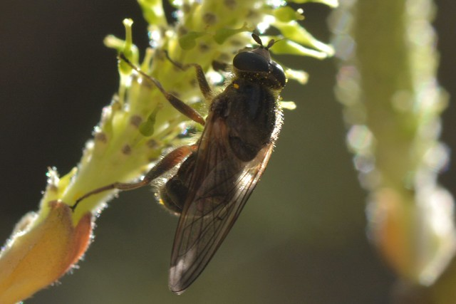 Interesting fly on Arroyo Willow catkin - Syrphidae?
