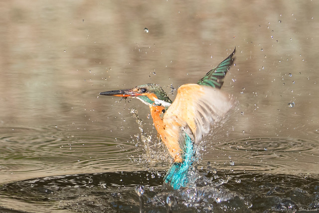 20180127-kingfisher-DSC_5864
