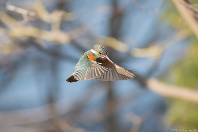 20180129-kingfisher-DSC_6553