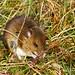 Apodemus sylvaticus Wood Mouse