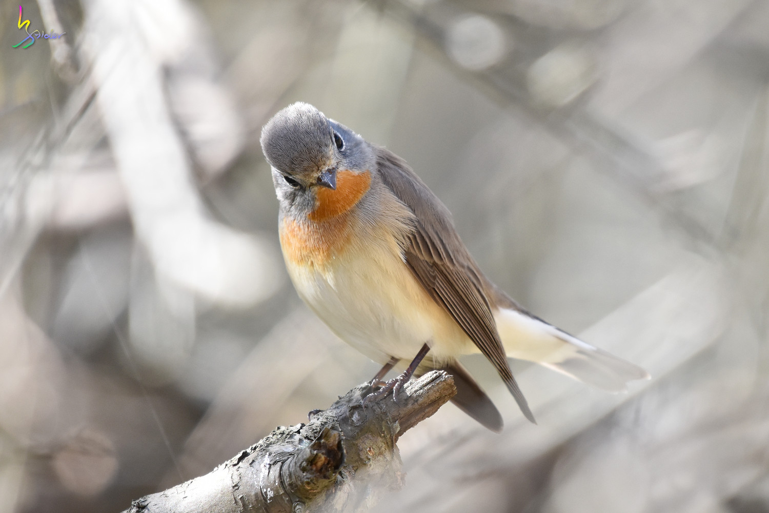 Red-breasted_Flycatcher_6605