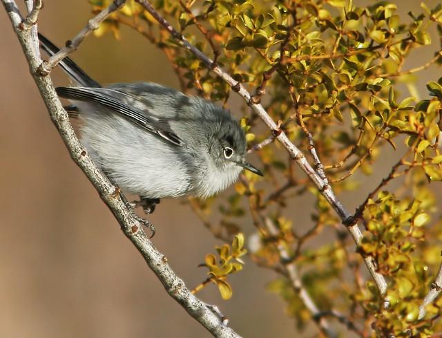 Black-tailed-Gnatcatcher-12-29-2008-20D_9884