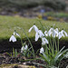 Botanics Snowdrops