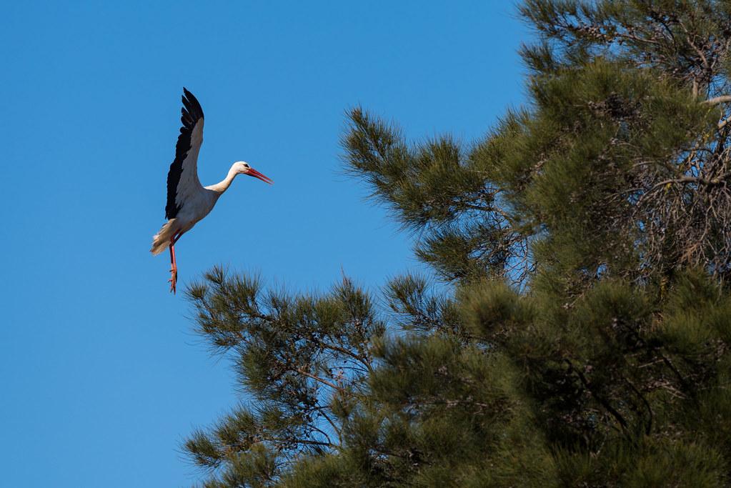 White Stork Landing